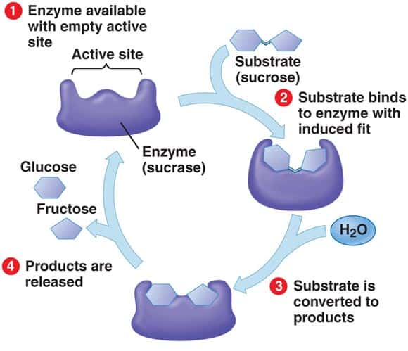role enzyme sucrase corps