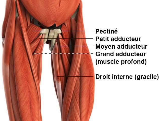 les muscles de l'intérieur des cuisses