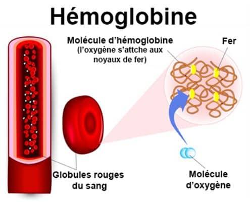 role du fer dans l'hemoglobine pour le transport de l'oxygene